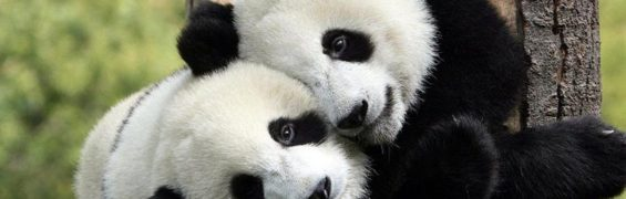beautiful-and-rare-pandas-peculiarities-you-don-t-know-about